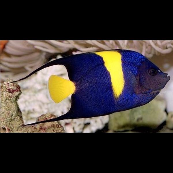 Acheter un poisson d'aquarium en ligne
