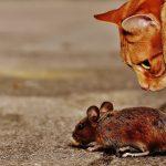 Se débarrasser efficacement des souris chez vous